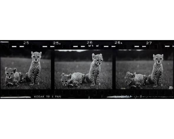 PETER BEARD Orphaned Cheetah Cubs (Last Word from Paradise), Mweiga Park Headquarters, near Nyeri, Kenya, 1968