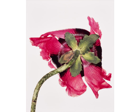 IRVING PENN Single Oriental Poppy, New York