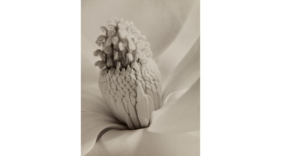 IMOGEN CUNNINGHAM Magnolia Blossom (Tower of Jewels), 1925