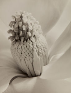 IMOGEN CUNNINGHAM Magnolia Blossom (Tower of Jewels), 1925