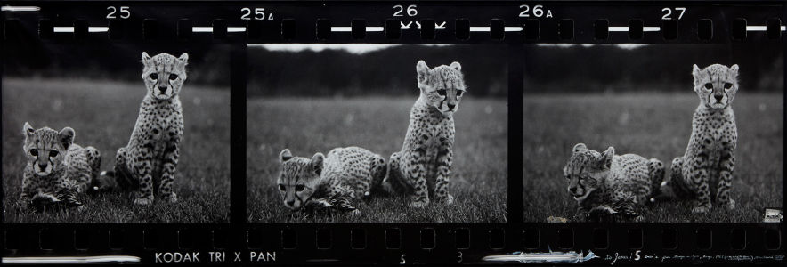 PETER BEARD Orphaned Cheetah Cubs (Last Word from Paradise), Mweiga Park Headquarters, near Nyeri, Kenya, 1968