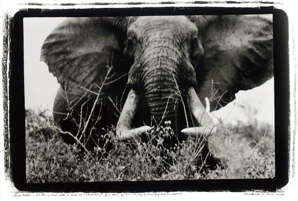 Large tusker (c. 150 lbs per side), Tsavo North, nr. block 33 & Ithumber Hill, Feb.