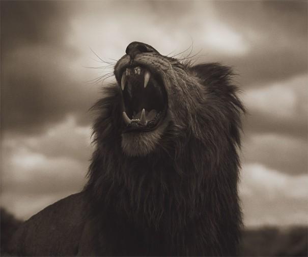 Lion Roar, Maasai Mara from Across the Ravaged Land