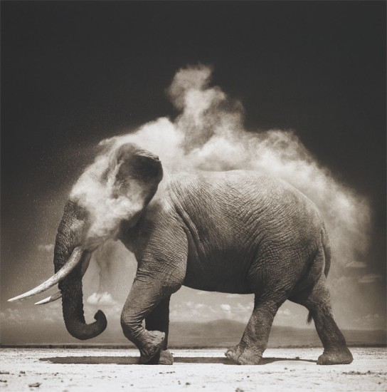 Elephant with Exploding Dust, Amboseli