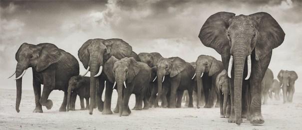 Elephants on the move, Amboseli
