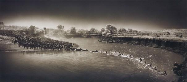 Zebras crossing river, Maasai Mara