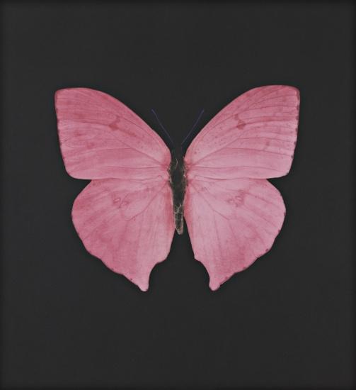 Mauve Butterfly