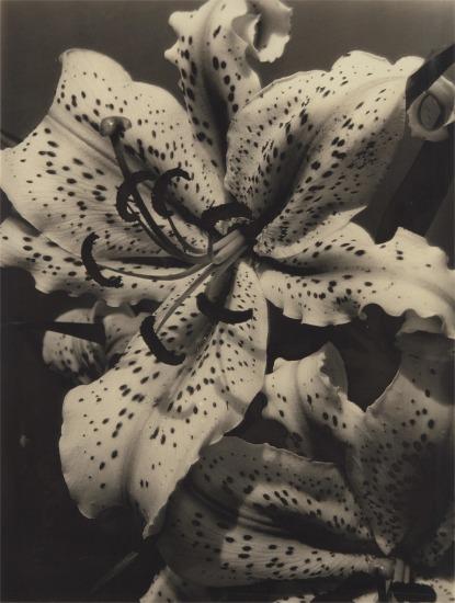 Auratum Lily