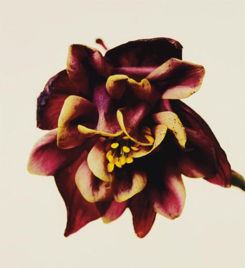Columbine/Aquilegia vulgaris: William Guiness, New York