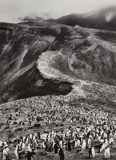 Chinstrap Penguins (Pygoscelis Antarctica), Deception Island, Antarctica