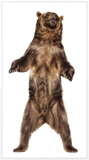 Grizzly Bear 26