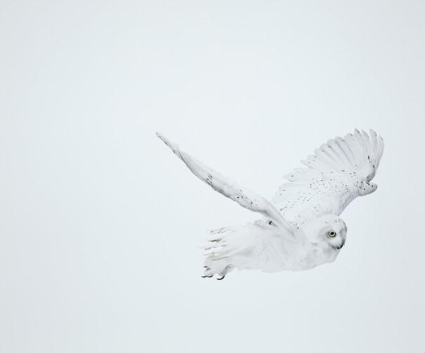 Snowy Owl 32