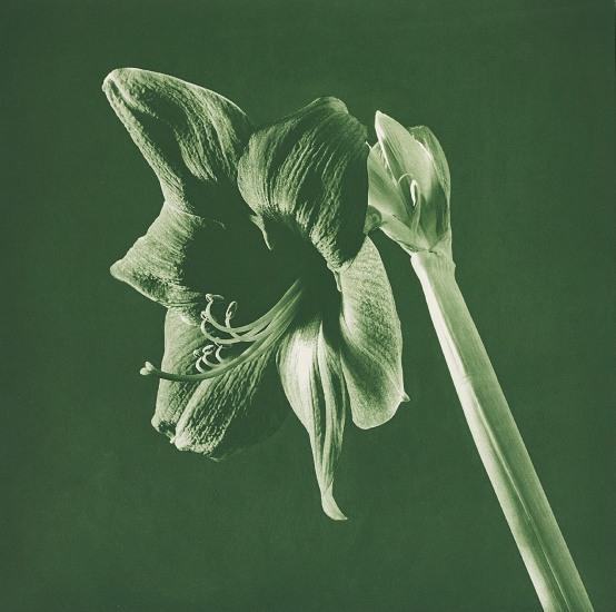 Flowers (Green Amarylis)