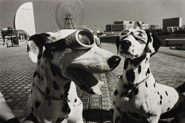 Yokohama, Japan (2 dogs in goggles)