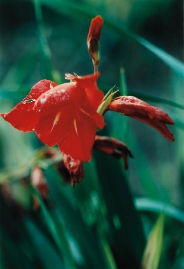 Pflanze No. 22, Rote Gladaiolen, Winterthur