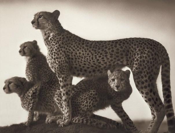 Cheetah and Cubs, Maasai Mara