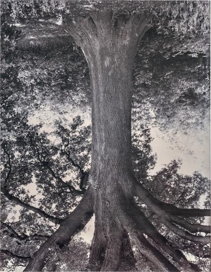 Oak, Mellaar from the series Flanders Trees